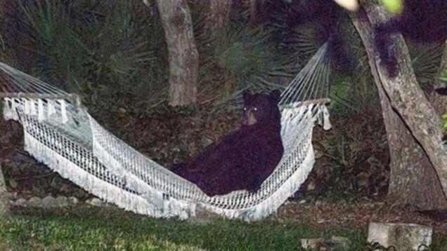 beer sleeping in hammock in garden