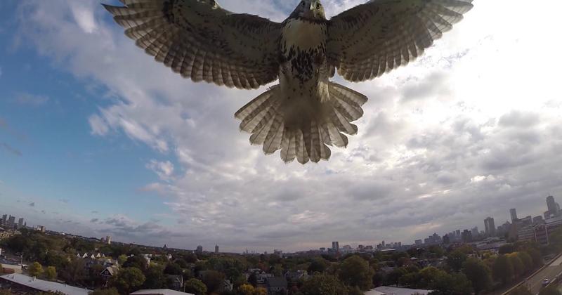 hawk-takes-down-drone_141014