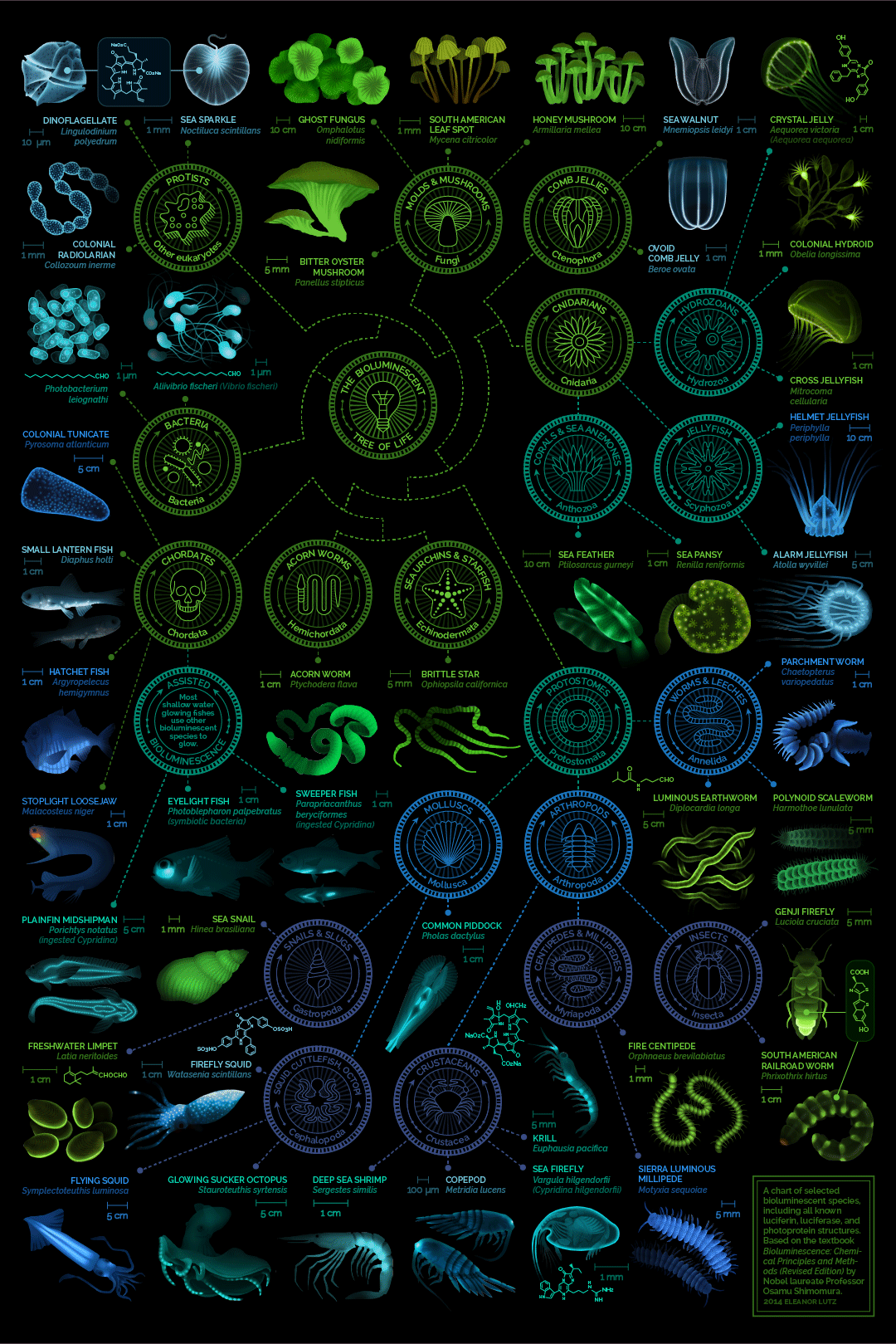 A Chart of Selected Bioluminescent Species