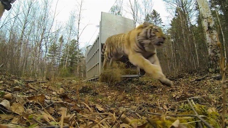 Incredibly-Rare-Siberian-Tiger-Release_fb