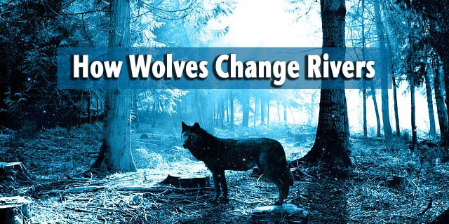 how-wolves-change-rivers