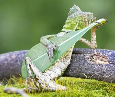 lizard-playing-leaf-guitar-indonesia-bl