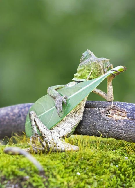 lizard-playing-leaf-guitar-indonesia