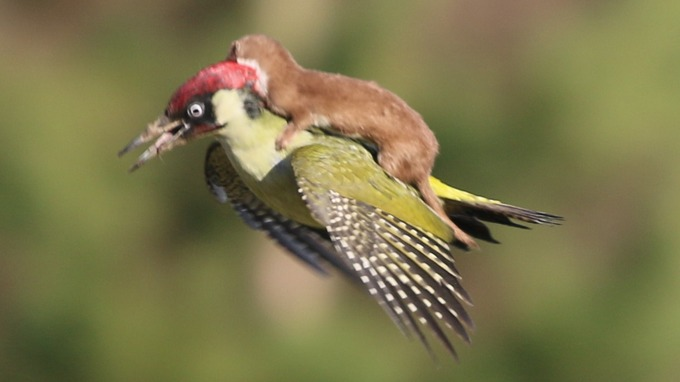 woodpecker-flying-with-weasel-on-its-back_1