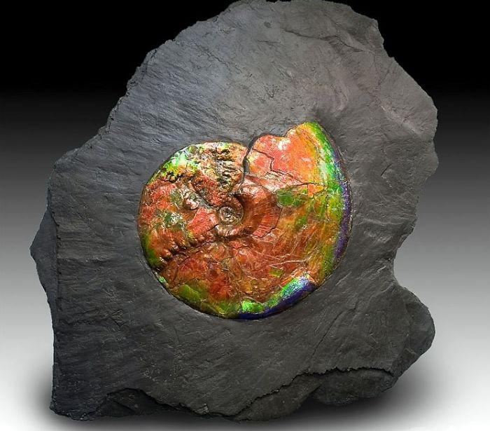 Ammolite / Opalized Ammonite Fossil