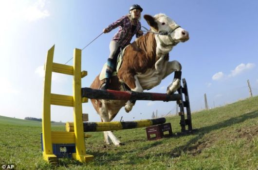 cow-riding-cow-girl1