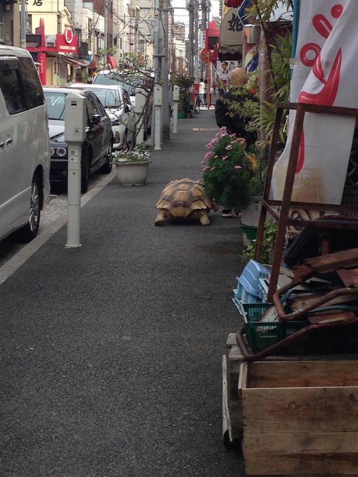 giant-tortoise-for-walk-tokyo-4