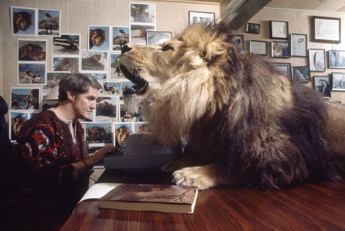 Subject: Noel Marshall (husband of Tippi Hedren) working in his study while Neil the pet lion roars.  Sherman Oaks California May 1971 Photographer- Michael Rougier Time Inc Owned Merlin- 1200538