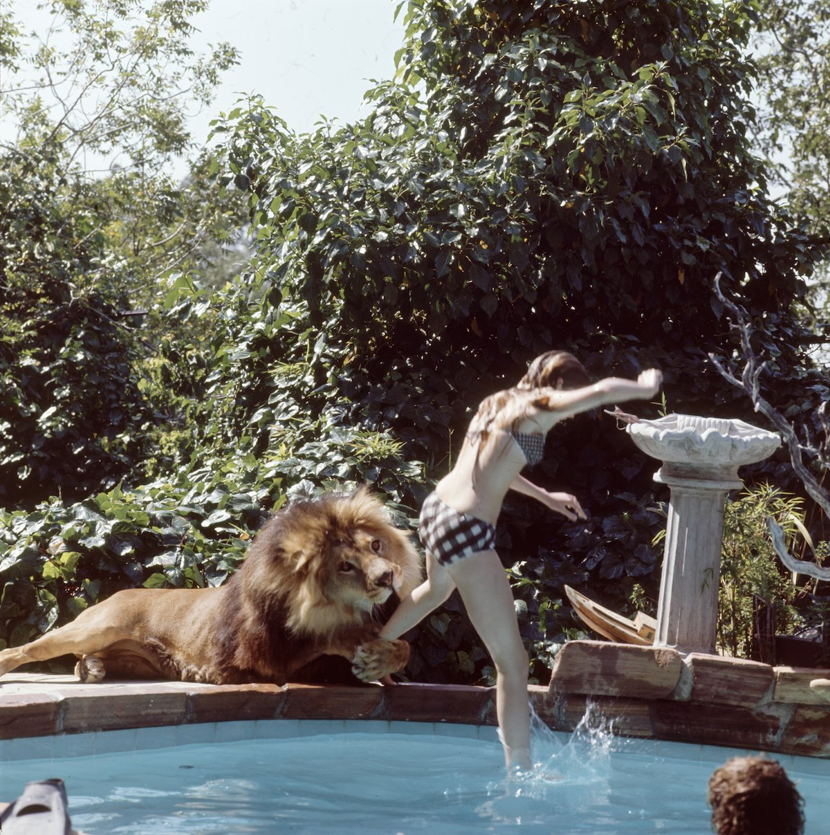 Subject: Melanie Griffith jumping in a swimming pool while pet lion Neil grabs her leg. Sherman Oaks, California May 1971 Photographer- Michael Rougier Time Inc Owned Merlin- 1200564