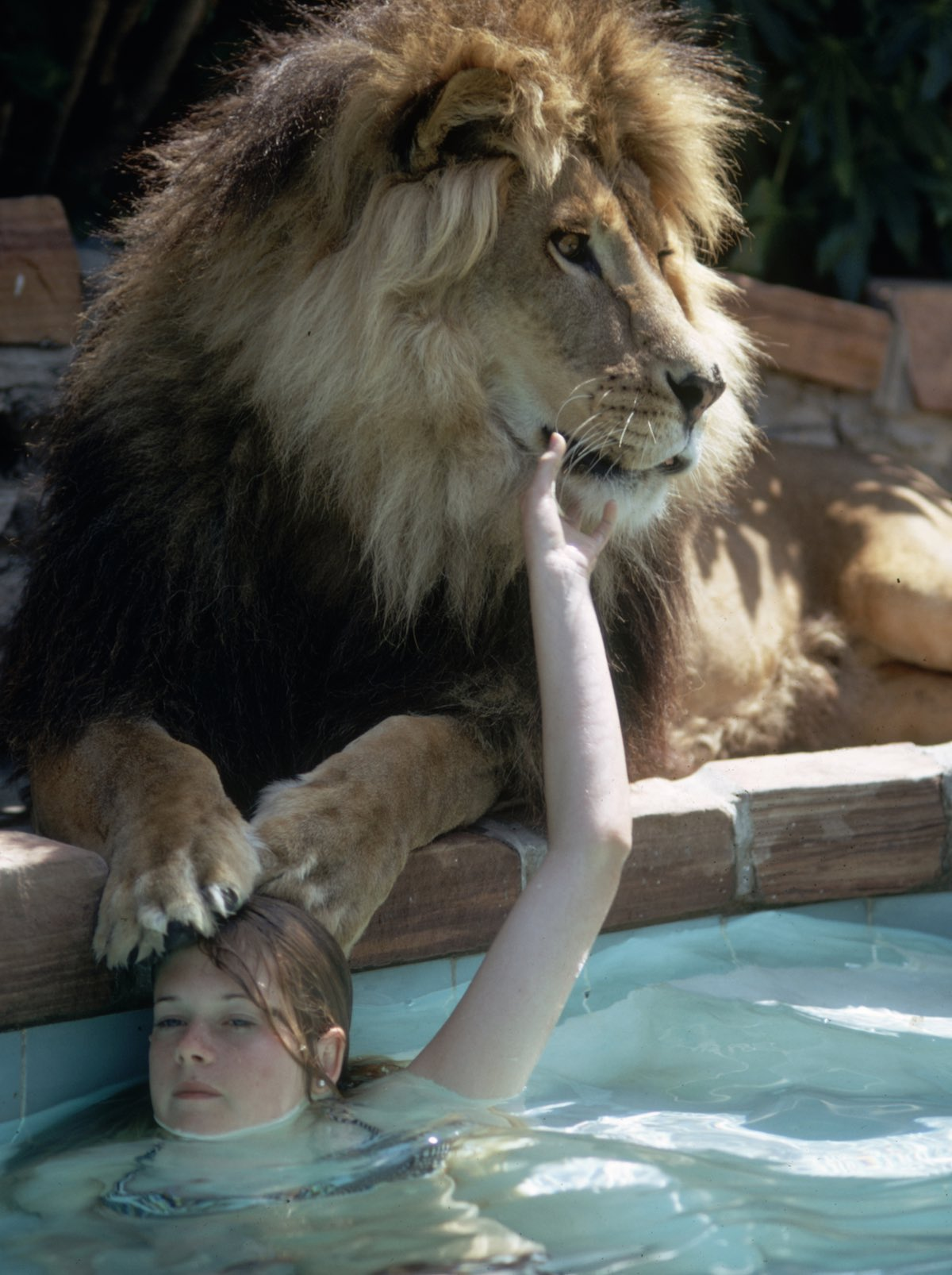 Subject: Melanie Griffith in a swimming pool by pet lion Neil. Sherman Oaks, California May 1971 Photographer- Michael Rougier Time Inc Owned Merlin- 1200550