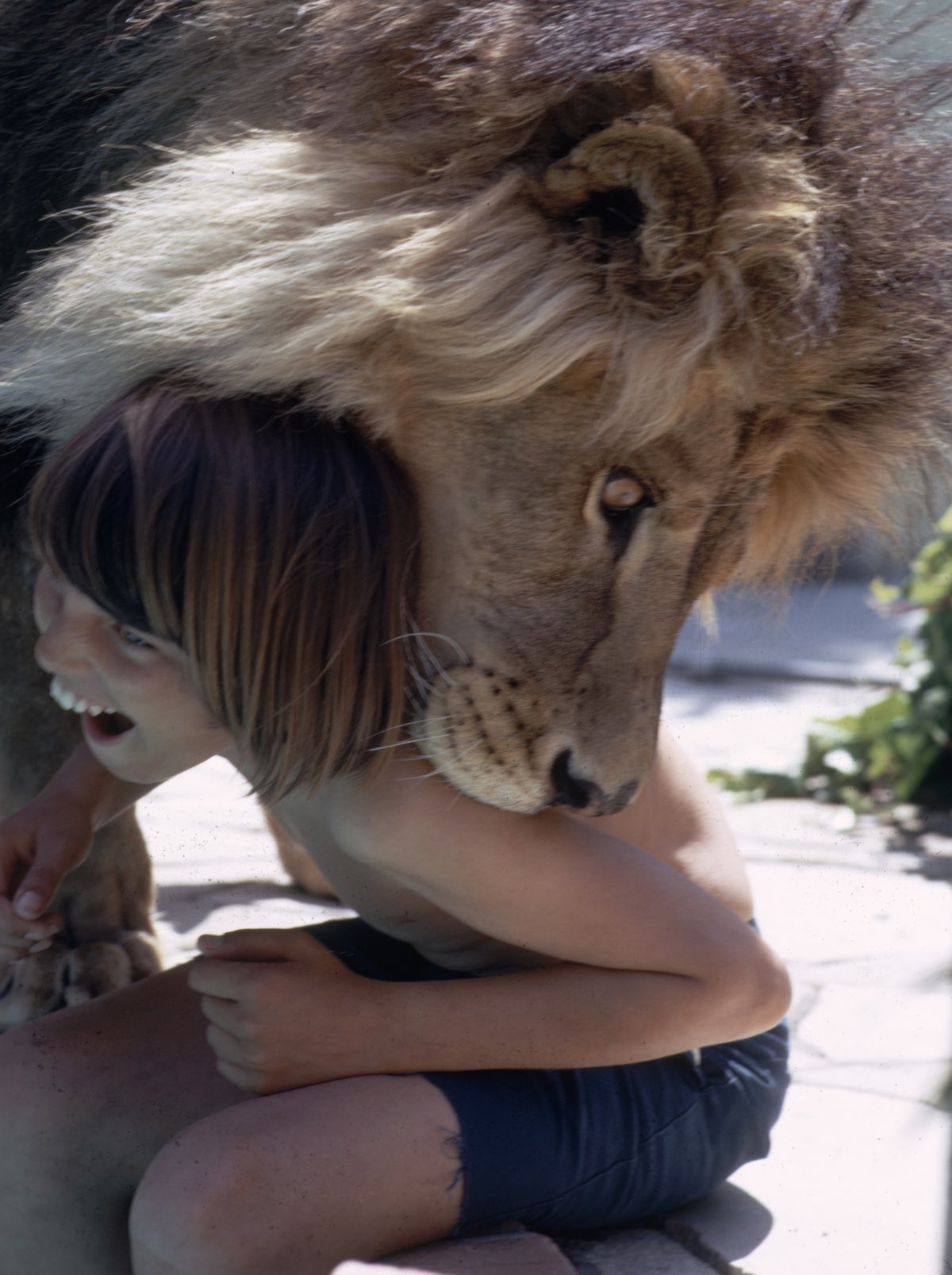 Subject: Tippi Hedren and Noel Marshall's pet Lion playing with a child by the pool side.  This might be one of Noel Marshall's sons but it's unclear. Sherman Oaks, California May 1971 Photographer- Michael Rougier Time Inc Owned Merlin- 1200546