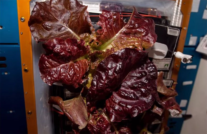 astronauts-on-iss-eat-veggies-grown-in-space