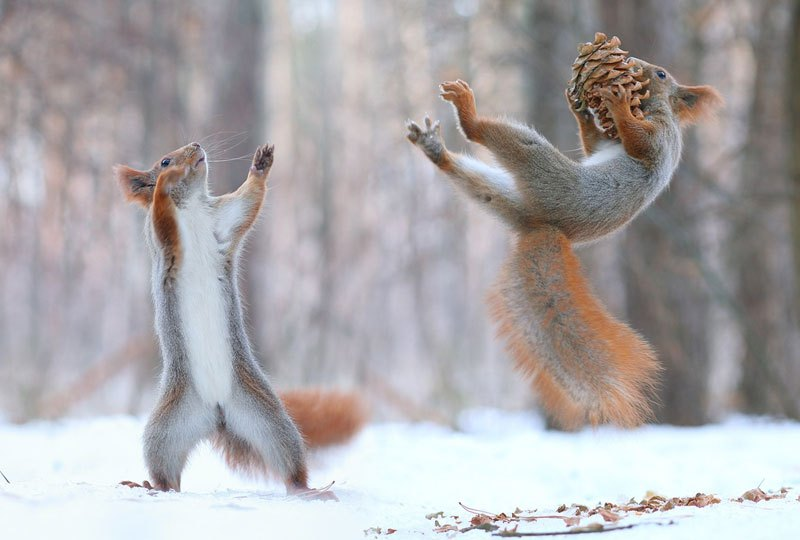 squirrel-snowball-fight-photos-by-vadim-trunov-10