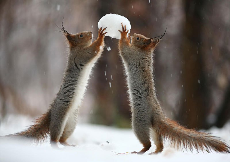 squirrel-snowball-fight-photos-by-vadim-trunov-2