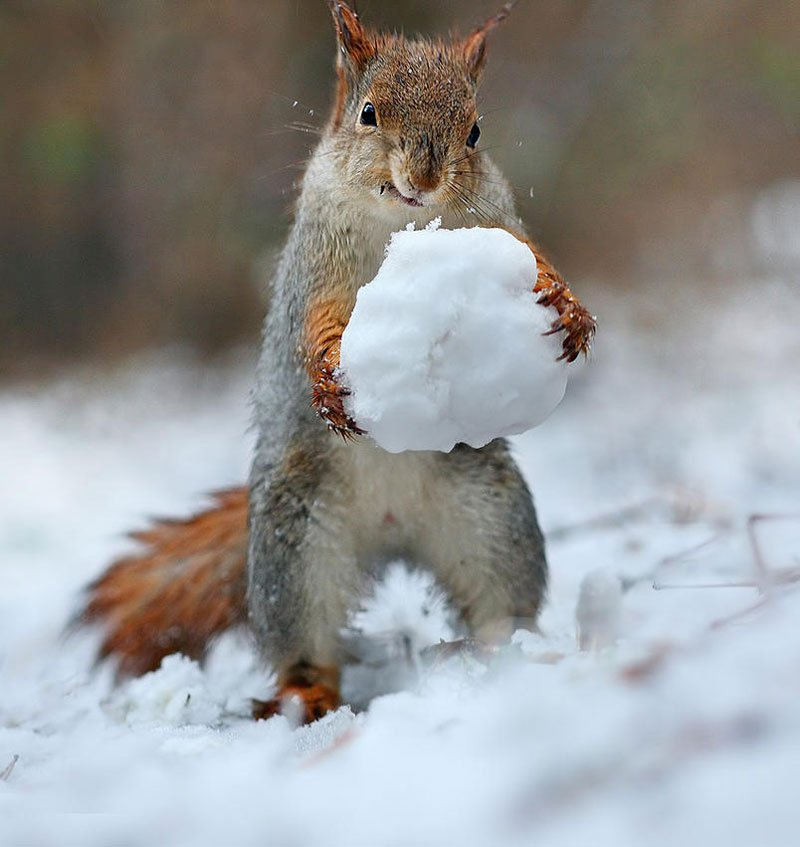 squirrel-snowball-fight-photos-by-vadim-trunov-3