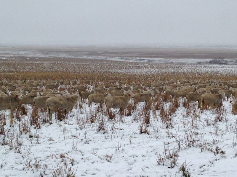 500-sheep-in-a-photo-camouflage-4