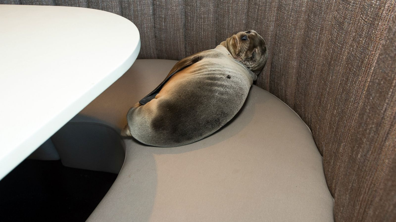 starving-sea-lion-rescued-after-being-found-in-san-diego-1