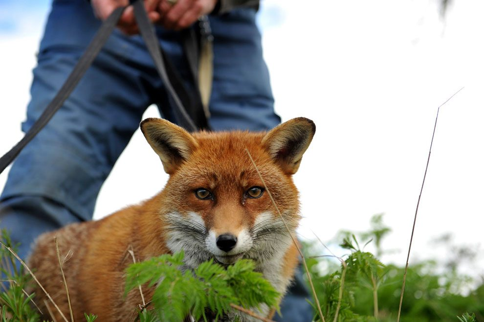 irishman-rescues-foxes-and-they-stay- with-him-forever-3b