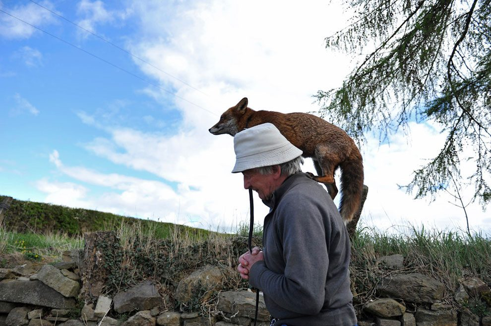 irishman-rescues-foxes-and-they-stay- with-him-forever-8