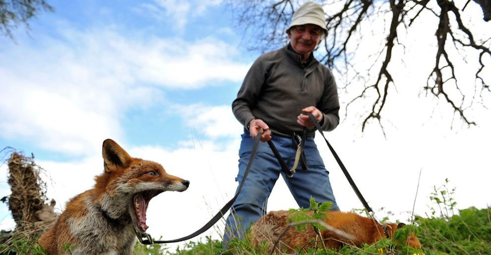 irishman-rescues-foxes-and-they-stay- with-him-forever-fb2