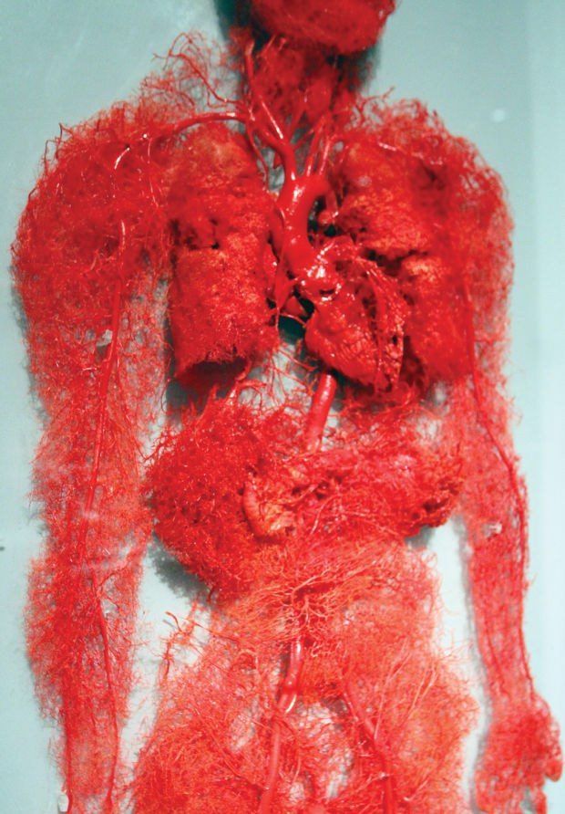 plastinated circulatory system