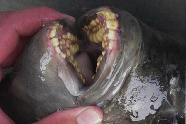 mouthfuls-of-fish-teeth-Pacu-Fish