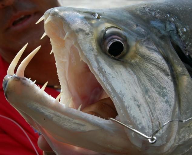 mouthfuls-of-fish-teeth-Vampire-Fish