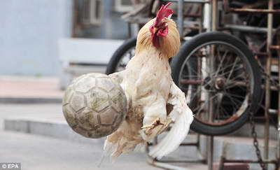 chicken-soccer-football-4