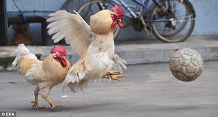 chicken-soccer-football-5