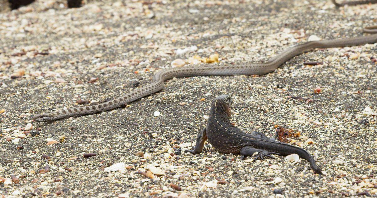 snakes-chase-iguana-fb