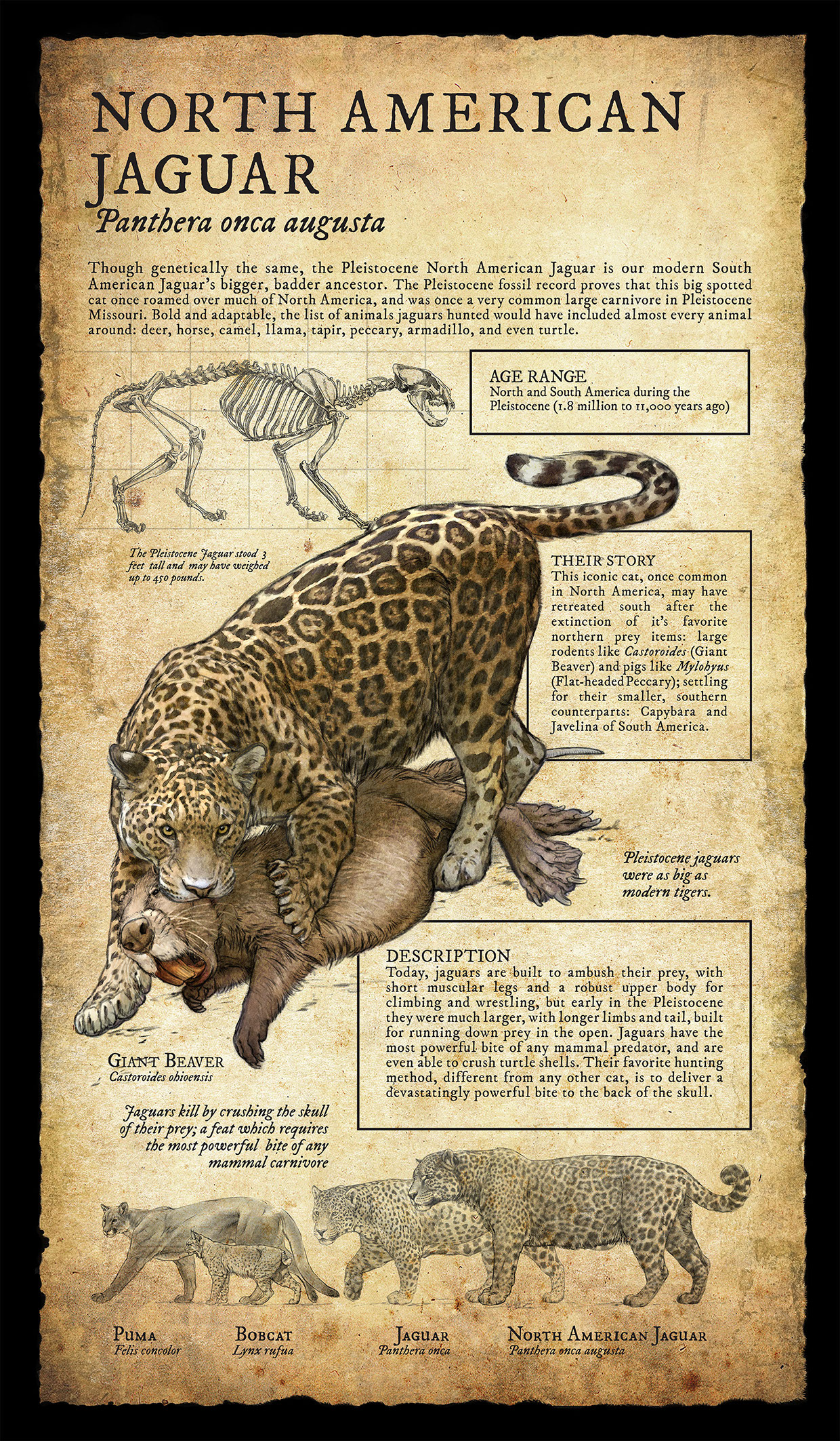 north american jaguar infographic