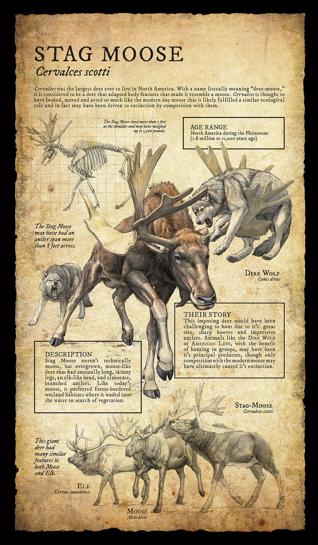 stag moose infographic