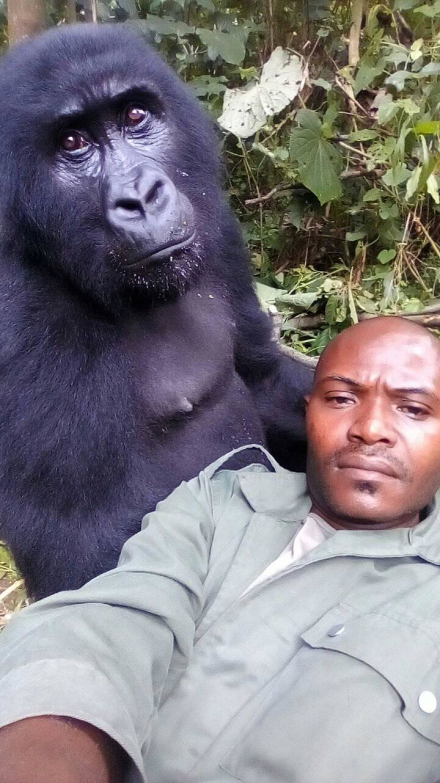 selfie with gorilla
